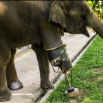 Meet Mosha, the first Elephant to receive a Prosthetic Leg
